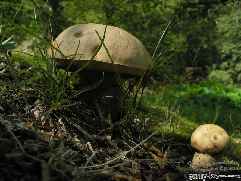 Фото горного крыма грибы крымский