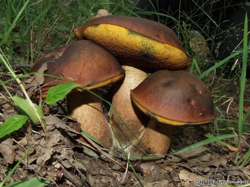 Горного крыма грибы грибы синяки