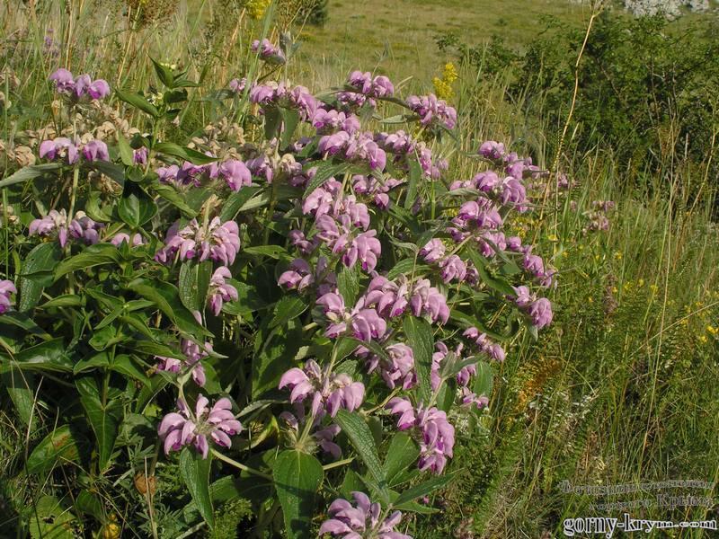 трава от аллергии фото